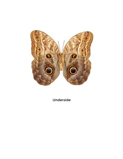 Placid giant owl butterfly