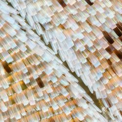 Ventral forewing (detail view), forest mother-of-pearl butterfly